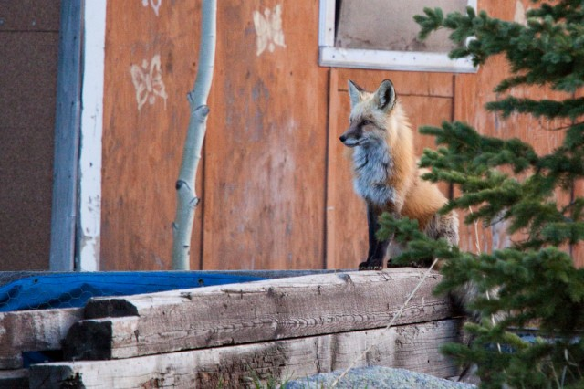 fox-8627