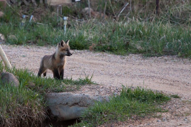fox-8629