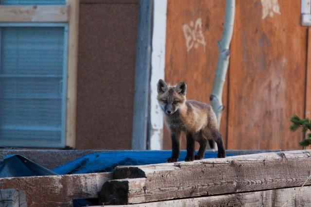 fox-8635