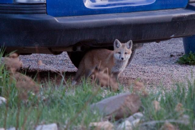 fox-8638