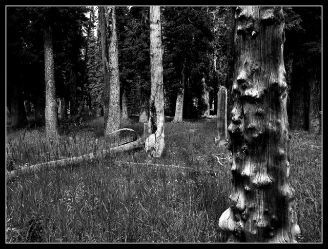 The Mean Trees, are a patch of old gnarled trees, probably killed by fire or lightning.  Nearly all of them had lightning scars.