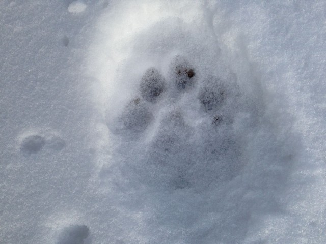 Mountain lion paw print in the snow.