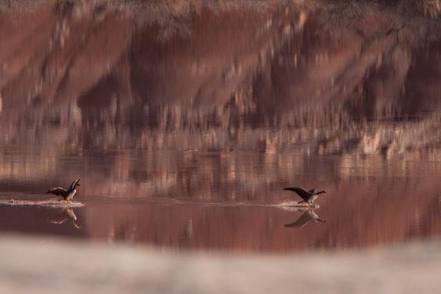 Geese landing, Horse Bench Reservoir