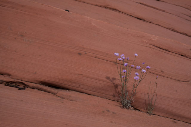 Growing in a crack in the canyon wall.